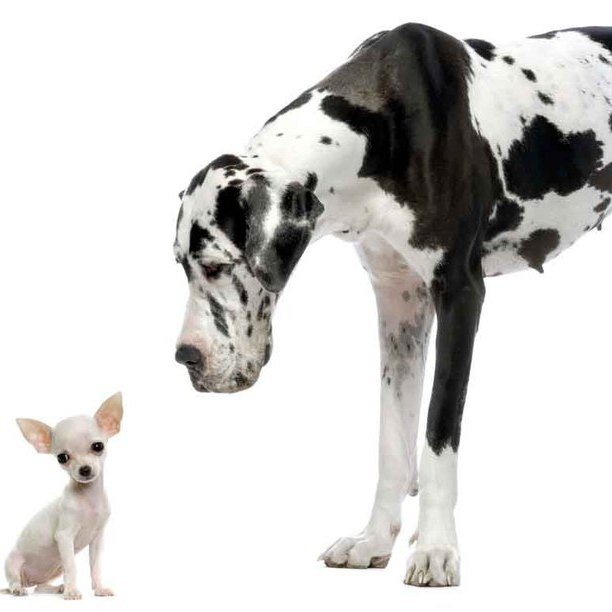 chihuahua and a great dane