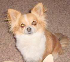 Irish Marked Chihuahua
