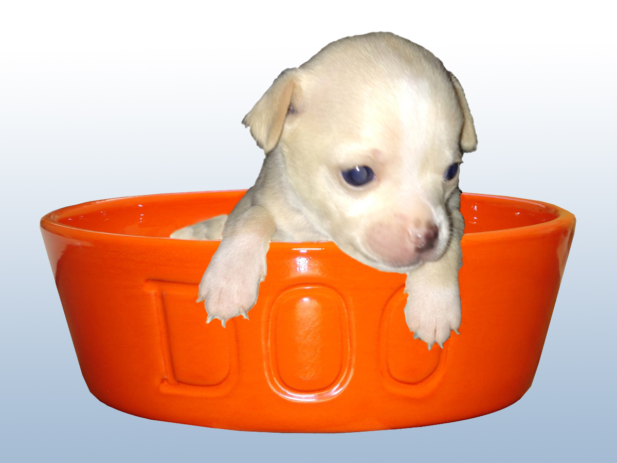 chihuahua puppy food